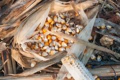 Semilla del maíz cosechada Imagen de archivo