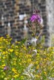 Semilla del Milkweed en wildflower de la lisimaquia Foto de archivo libre de regalías