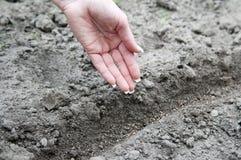 Semilla del rábano de la siembra de la mano Fotografía de archivo libre de regalías