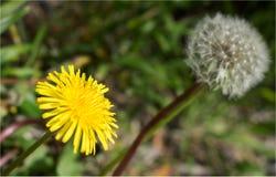 Semilla hermosa de la flor y del diente de león fotos de archivo libres de regalías