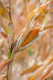 Semilla secada del maíz Fotos de archivo libres de regalías