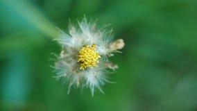 Semilla secada primer de la mala hierba, margarita de Tridax almacen de video