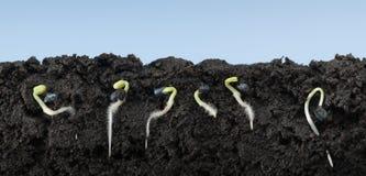 Semillas crecientes de la albahaca en suelo fotografía de archivo