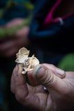 Semillas de coriandro frescas Fotografía de archivo