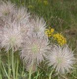 Semillas de flor del Pulsatilla imagen de archivo