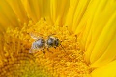 Semillas de girasol de polinización de la abeja Fotografía de archivo