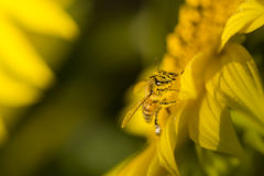 Semillas de girasol de polinización de la abeja Foto de archivo