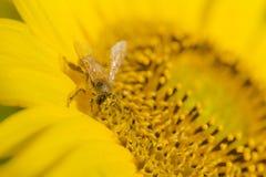 Semillas de girasol de polinización de la abeja Imagen de archivo