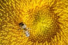Semillas de girasol de polinización de la abeja Imágenes de archivo libres de regalías