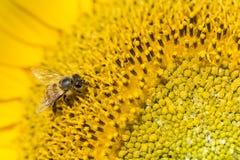 Semillas de girasol de polinización de la abeja Fotos de archivo libres de regalías