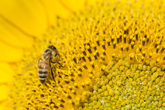 Semillas de girasol de polinización de la abeja Fotografía de archivo libre de regalías