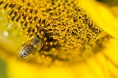Semillas de girasol de polinización de la abeja Foto de archivo libre de regalías