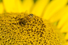 Semillas de girasol de polinización de la abeja Imagenes de archivo