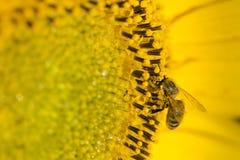 Semillas de girasol de polinización de la abeja Imagen de archivo libre de regalías