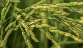 semillas de la cosecha del arroz imagen de archivo libre de regalías