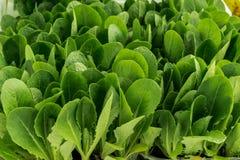 Semillas de la espinaca, planta hermosa para las ensaladas Imagenes de archivo
