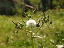 Semillas de la flor salvaje del distel foto de archivo