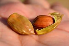 Semillas de la jojoba Foto de archivo libre de regalías