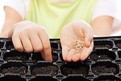 Semillas de la siembra del niño en la bandeja de la germinación Imágenes de archivo libres de regalías