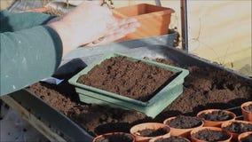 Semillas de la siembra en una bandeja a crecer almacen de video
