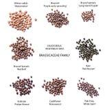 Semillas de las verduras crucíferas Fotos de archivo libres de regalías