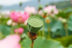Semillas de Lotus Imagen de archivo libre de regalías