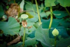 Semillas de Lotus Foto de archivo