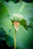 Semillas de Lotus Fotografía de archivo libre de regalías