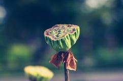 Semillas de Lotus Imagenes de archivo