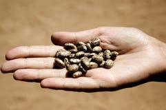 Semillas de ricino Fotografía de archivo libre de regalías