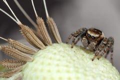 Semillas de salto de la araña y del diente de león foto de archivo libre de regalías