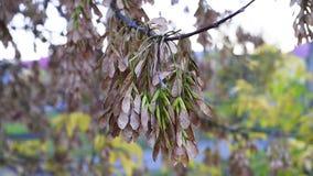 Semillas de un árbol de arce que balancea en las ramas de árboles con la brisa