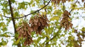 Semillas de un ?rbol de arce que balancea en las ramas de ?rboles con la brisa