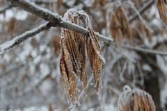 Semillas del árbol de ceniza 2 Imagenes de archivo