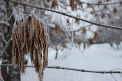 Semillas del árbol de ceniza 3 Fotografía de archivo libre de regalías