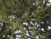 Semillas del árbol de pino en naturaleza Fotos de archivo