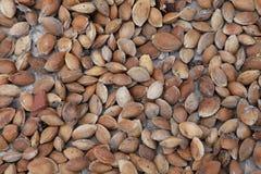 Semillas del albaricoque Imagen de archivo