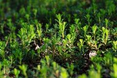 Semillas del arándano Foto de archivo libre de regalías