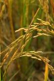 Semillas del arroz Fotografía de archivo libre de regalías