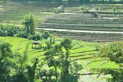 Semillas del arroz de arroz fotografía de archivo