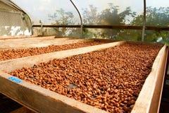 Semillas del cacao que asan en planos Fotografía de archivo libre de regalías