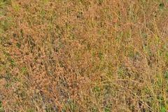 Semillas del cilantro Imagen de archivo