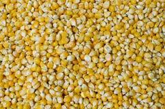 Semillas del maíz del maíz imagen de archivo libre de regalías