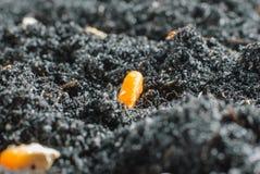 Semillas del maíz en suelo fértil Fotografía de archivo libre de regalías