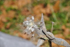 Semillas del Milkweed Fotografía de archivo libre de regalías