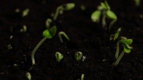 Semillas del pepino de la germinación metrajes
