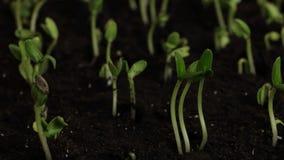 Semillas del pepino de la germinación almacen de video