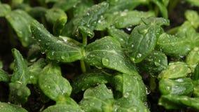 Semillas del pepino de la germinación en la lluvia metrajes
