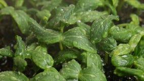 Semillas del pepino de la germinación en la lluvia almacen de metraje de vídeo