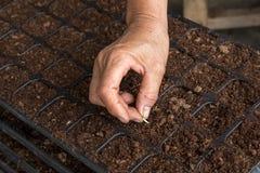 Semillas del pepino de la siembra de la mujer de la mano Fotos de archivo libres de regalías